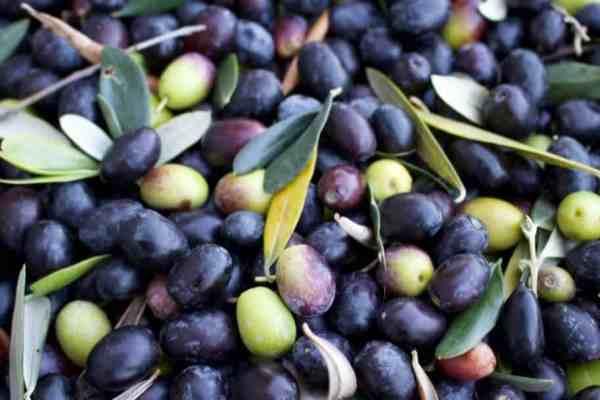 Foodventurous: Olive Oil in Lazio